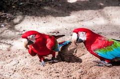 Brazylijscy ptaki Zdjęcia Stock