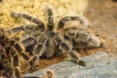 Brazylijska czerwona birdeater tarantula Obrazy Royalty Free