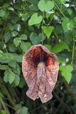 Brazylijska dutchman ` s drymba, kwiat, dziwaczny i ogromny zdjęcie stock