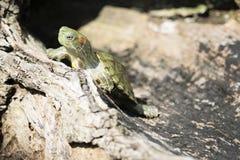 Brazylijski żółw Zdjęcia Stock