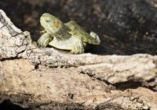 Brazylijski żółw Zdjęcia Royalty Free