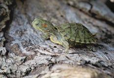Brazylijski żółw Fotografia Royalty Free