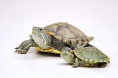 Brazylijski żółw Obrazy Stock