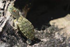 Brazylijski żółw Obrazy Royalty Free