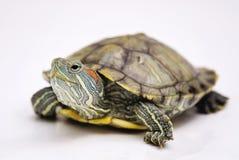Brazylijski żółw Obraz Stock