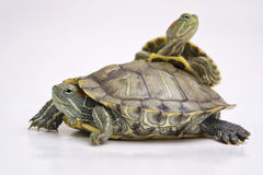 Brazylijski żółw Obraz Royalty Free