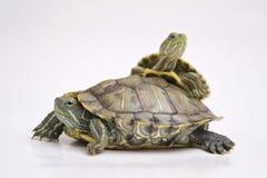 Brazylijski żółw Zdjęcie Stock