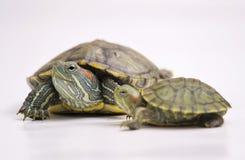 Brazylijski żółw Zdjęcie Royalty Free