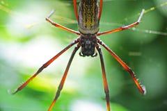 Brazylijski gigantyczny pająk Obrazy Royalty Free