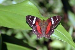 brazylijski motyl Zdjęcia Royalty Free