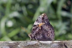 brazylijski motyl Obraz Royalty Free