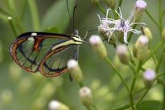Brazylijski motyli Episcada hymenaea Zdjęcia Stock