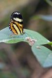 Brazylijski motyli Hypothyris ninonia daeta w ich naturalnych brzęczeniach Obraz Royalty Free