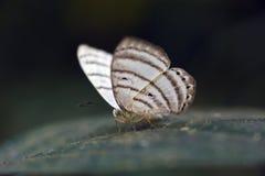 Brazylijski motyli namierzony w szczątku Atlantycki Rainfores Zdjęcia Stock