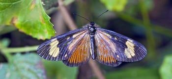 Brazylijski motyli namierzony w szczątku Atlantycki Rainfores Zdjęcia Royalty Free
