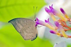 Brazylijski motyli namierzony w szczątku Atlantycki tropikalny las deszczowy Obrazy Royalty Free