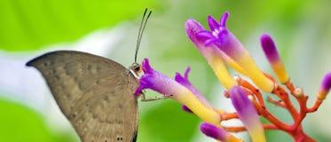 Brazylijski motyli namierzony w szczątku Atlantycki tropikalny las deszczowy Zdjęcie Royalty Free