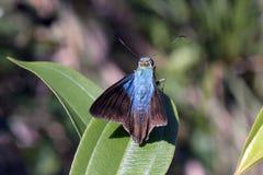 Brazylijski motyli namierzony w szczątku Atlantycki tropikalny las deszczowy Fotografia Royalty Free