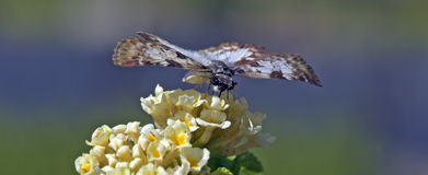 Brazylijski motyli namierzony w szczątku Atlantycki tropikalny las deszczowy Obrazy Stock