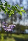 Brazylijski nightshadeSolanum seaforthianum w jaskrawym świetle słonecznym obrazy royalty free