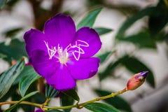 Brazylijski pająka kwiat, chwała Bush, Lasiandra Princess kwiat obrazy royalty free