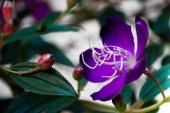 Brazylijski pająka kwiat, chwała Bush, Lasiandra Princess kwiat fotografia stock