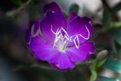 Brazylijski pająka kwiat, chwała Bush, Lasiandra Princess kwiat obraz royalty free
