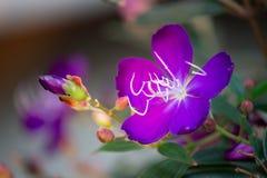 Brazylijski pająka kwiat, chwała Bush, Lasiandra Princess kwiat zdjęcia royalty free
