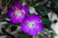 Brazylijski pająka kwiat, chwała Bush, Lasiandra Princess kwiat zdjęcia stock