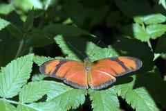 Brazylijski pomarańczowy motyl na zielonym tle Obraz Stock