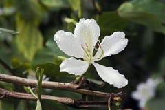 Brazylijski storczykowy drzewo lub de Zdjęcia Stock