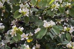 Brazylijski storczykowy drzewo w kwiacie Zdjęcia Royalty Free