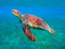 Brazylijskie bahia coroa żółwia morskiego vermelha wyspy Obraz Royalty Free