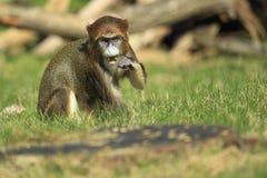brazza de monkey s Στοκ Φωτογραφίες