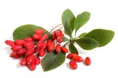 Bérberis maduras no ramo com folhas verdes Imagens de Stock