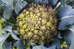 Bróculi de Romanesco Fotografía de archivo libre de regalías