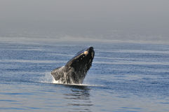 Breach in Blue 3. A Southern right whale breaching in Walker Bay,Hermanus,South Africa Royalty Free Stock Photo