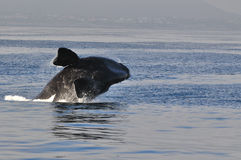 Breach in Blue 5. A Southern right whale breaching in Walker Bay,Hermanus,South Africa Royalty Free Stock Photography