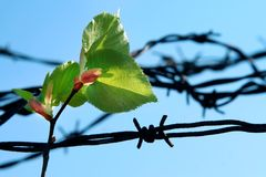 Breach of prison. Leaf and old barbed wire Royalty Free Stock Photos