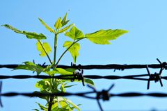 Breach of prison. Leaf and old barbed wire Royalty Free Stock Image