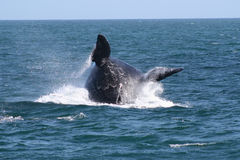 Breaching. A southern right whale BREACHING near the beach. a common behaviour of this specie Royalty Free Stock Images