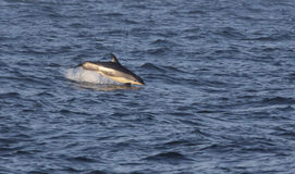 Breaching Atlantic White-sided Dolphin Royalty Free Stock Images