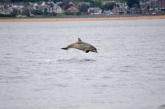 Breaching dolphin. Of the moray firth Royalty Free Stock Images