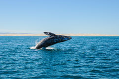 Breaching Gray whales (Eschrichtius robustus) Stock Photos