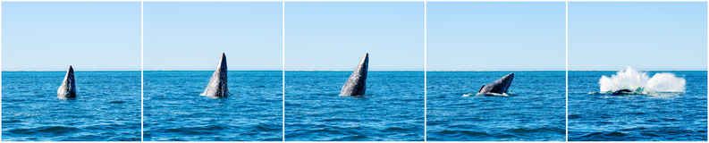 Breaching Gray whales (Eschrichtius robustus) Stock Images