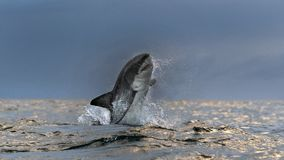Free Breaching Great White Shark. Front View.  Scientific Name: Carcharodon Carcharias. South Africa Stock Photos - 164213903
