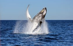 Free Breaching Humpback Royalty Free Stock Images - 113265749