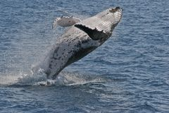 Breaching humpback stock images