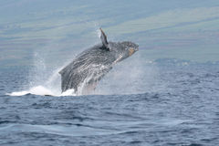 Breaching Humpback Off Maui Royalty Free Stock Photos