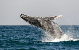 Breaching Humpback. Side on view of a breaching humpback whale during the annual migration to warmer waters along the east coast of South Africa royalty free stock photography